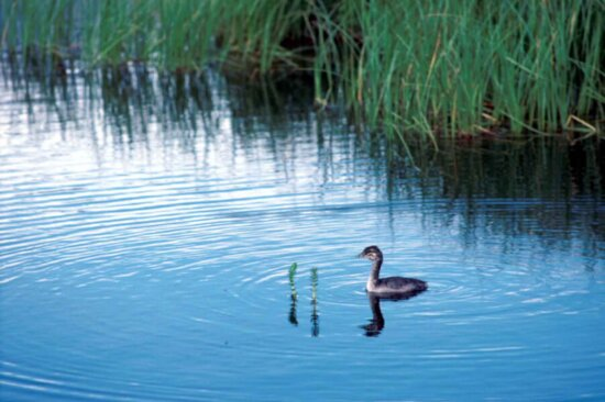 red, necked, grebe, podiceps grisegena, young, migratory, aquatic, bird, water