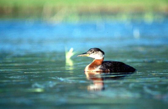 red, necked, grebe, swimming, alone