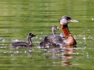 red, necked, grebe, young