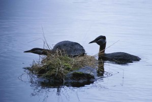 red, necked, grebes, bird, nest