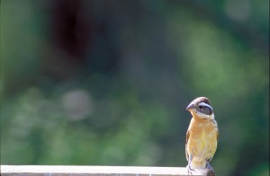 black, headed, grosbeak, bird