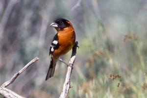 black, headed, grosbeak, sitting, branch