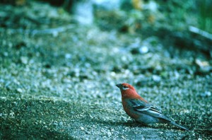 pine, grosbeak, bird, pinicola, enucleator, prepares, flight, ground