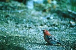Pine, Karmindompap, fugl, pinicola enucleator, tilbereder, flyvning, jorden