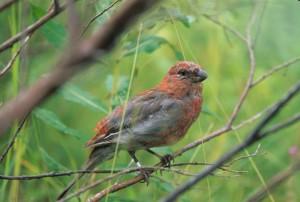 pine, grosbeak, juvenile, bird, pinicola, enucleator