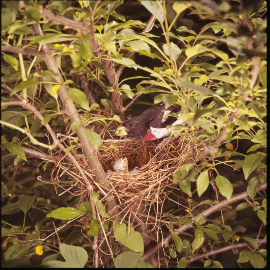 rose, breasted, grosbeak, bird, nest, chick, pheucticus ludovicianus