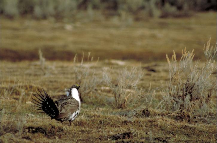 greater, sage, grouse, bird, open, field, display, fanned, tail