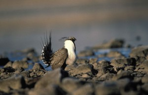 greater, sage, grouse, bird, rocks