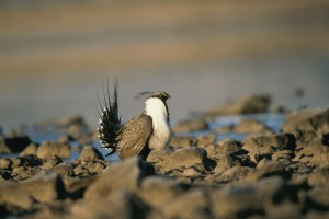 male, greater, sage, grouse, mating, display, rocky, ground