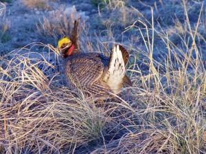 prairie, poulet, oiseau, Tympanuchus, cupido