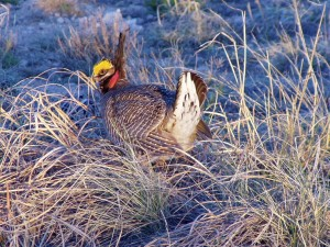 prairie, chicken, bird, tympanuchus, cupido