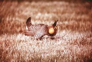 prairie, chicken, male, breeding, plumage, tympanuchus, cupido