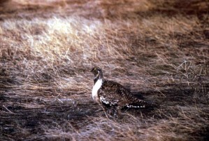 sage, grouse, bird