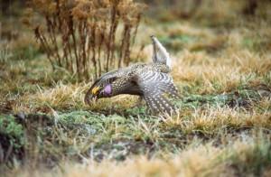 pointu, queue, grouse, oiseau, mâle, accouplement, affichage, Tympanuchus, phasianellus