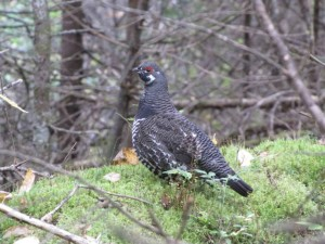 spruce, grouse, animal, bird, dendragapus canadensis