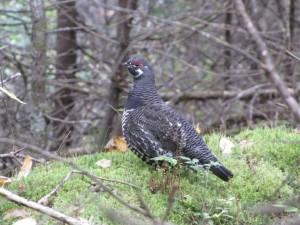 Ladin, orman tavuğu, hayvan, kuş, dendragapus canadensis
