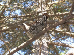 смърч, яребица, птица, intree, dendragapus canadensis
