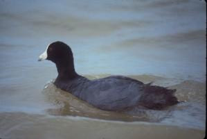 hawaïen, foulque, oiseau, oiseaux aquatiques, fulica, Americana, alai