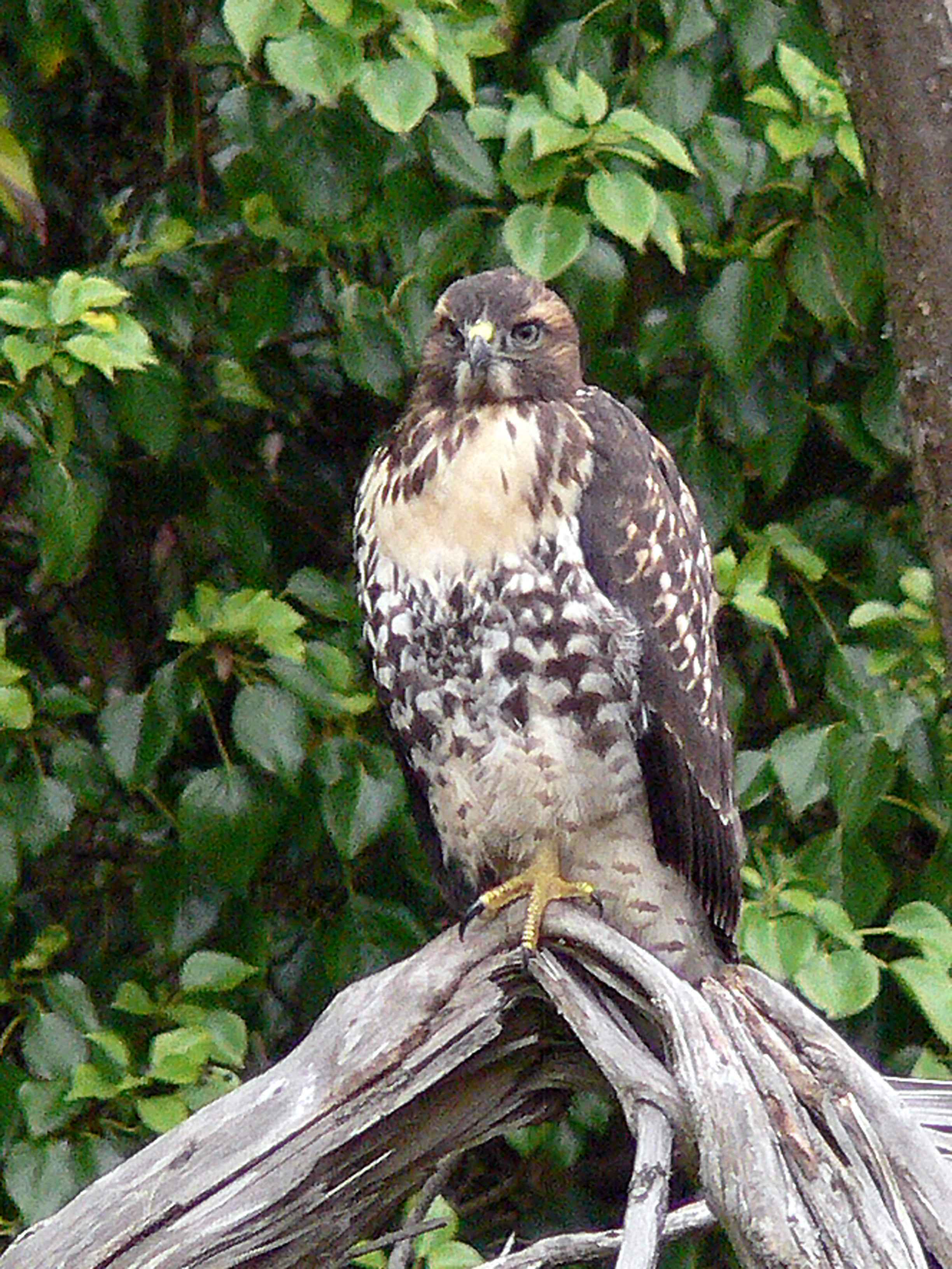 Red Tailed Hawk Perched Free picture: juvenile...