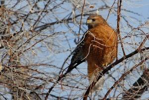 red, shouldered, hawk, tree
