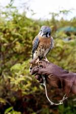 Amerikaanse, kestel, vogel, falco sparverius