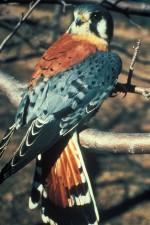 Amerikaanse, vogel, falco, kestral, sparverius