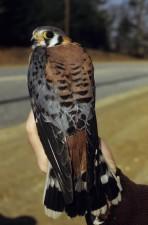 Amerikaanse, Torenvalk, vogel, falco sparverius