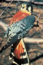 American, kestrel, bird, image