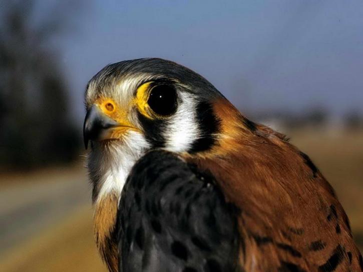 Amerikaanse, Torenvalk, falcon, vogel