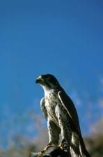 de près, la tête, le faucon pèlerin, le faucon, oiseau, falco, peregrinus, anatum