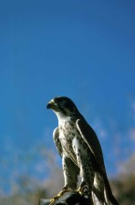 up-close, hoofd, Slechtvalk, falcon, vogel, falco peregrinus anatum