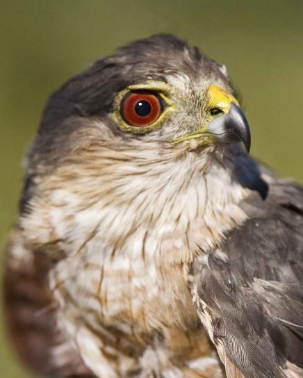 up-close, head, sharp, shinnes, hawk, bird, accipiter, striatus