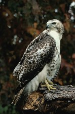 up-close, red, tailed, hawk, standing, log