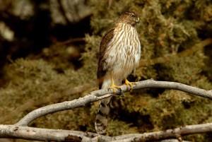 cooper, hawk, bird, branch