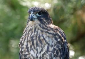 Hawks falcons