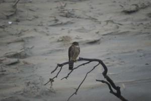 falco columbarius, Vogel