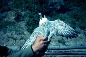 peregrinus, wędrowny, Sokół, ptak, Falco, ręce