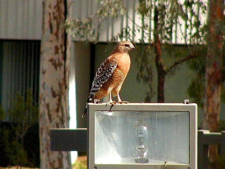 hawks, birds