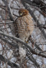juvenile, red, shouldered, hawk, branch, buteo, lineatus
