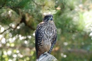 Nový Zéland, falcon, falco novaezeelandiae