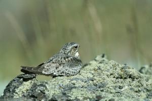 Nighthawk, птах