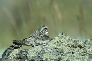 Nighthawk, chordelies, неповнолітній, птах