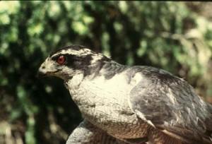 palombes, adulte, mâle, oiseau, accipiter, gentilis
