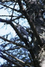 palombes, oiseau, accipiter, gentilis, assis, branche, arbre