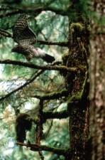 palombes, oiseau, forêt, accipiter, gentilis