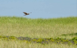 Northern harrier, pták, letadlo, cirkus, cyaneus