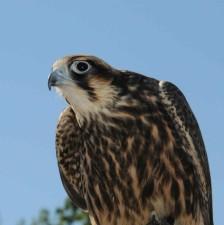 pèlerin, faucon, oiseau, falco, peregrinus
