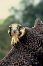 pèlerin, faucon, oiseau, tête, visage