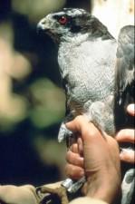 Peregrine falcon, ptak, ręce, Zamknij