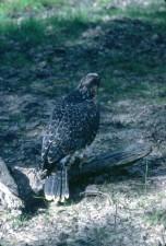 peregrine, falcon, bird, juvenile